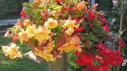 knollenbegonien-gemischt-(begonia-×tuberhybrida) - de