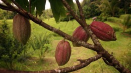 a cacao plantation and Landscape in central Bali on the island Bali in indonesia in southeastasia