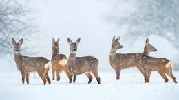 Wild roe deer herd in a snowfall