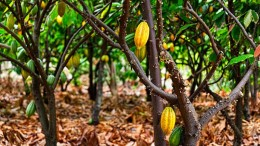 Cacao Fruit Ripened on the Tree