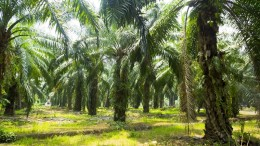 Palm oil plantation at Malaysia, Asia