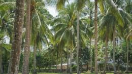 Palmenplantage