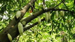 A low angle shot of a cocoa tree with blooming cocoa beans on it