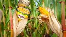 Maiskolben an einem grnem Maisfeld