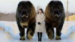 10-abnormal-grosze-hunde-die-es-wirklich-gibt-yTwrfaQrGOA-480-300