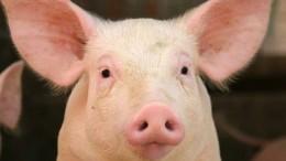 Schweine, Fuetterung, Ferkel, Ferkel ueberm Gatter