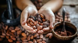 Hand holding aromatic cocoa beans, closeup